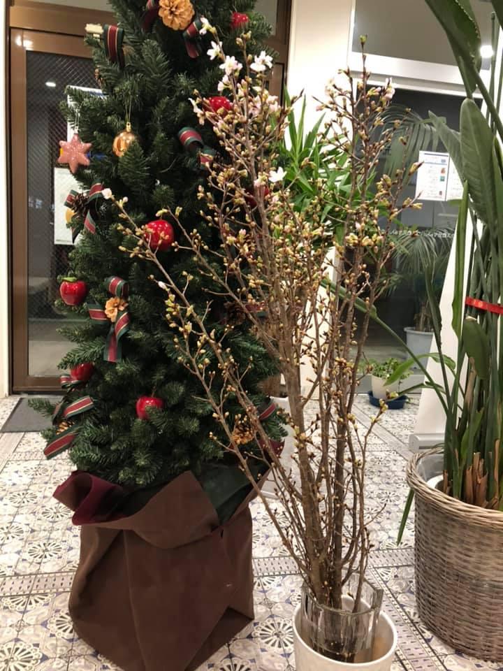 クリスマスツリーと啓翁桜のツーショット